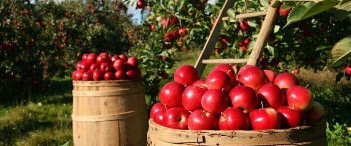 Collection, Storage and Processing of Apples