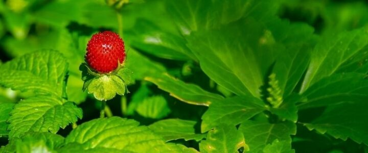 How to Transplant Strawberries